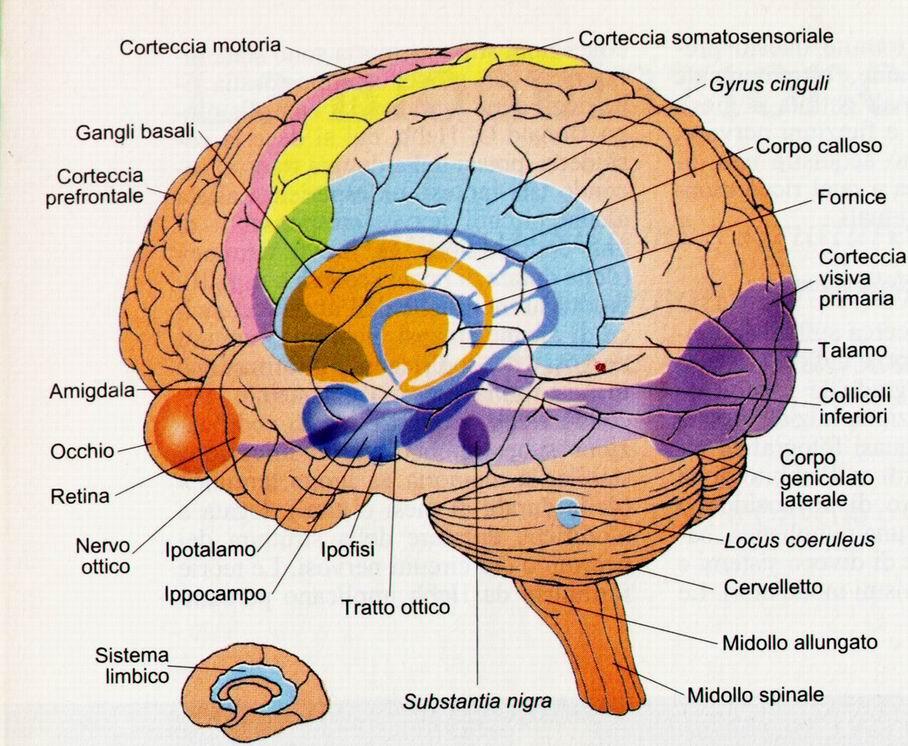 il-sistema-limbico-senza-spiegaz-ridotto